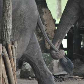 (Elephant Conservation Center, Thailand)