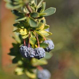 Calafate berry (El Calafate, Argentina)