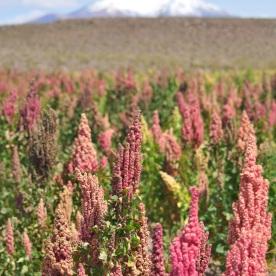 quinoa field (Salar de Uyuni, Bolivia)