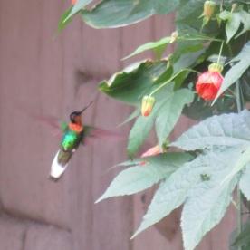 collared inca hummingbird (Aquas Calientes, Peru)