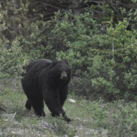 black bear (Jasper, Canada)